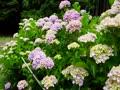 神宮寺の紫陽花と睡蓮